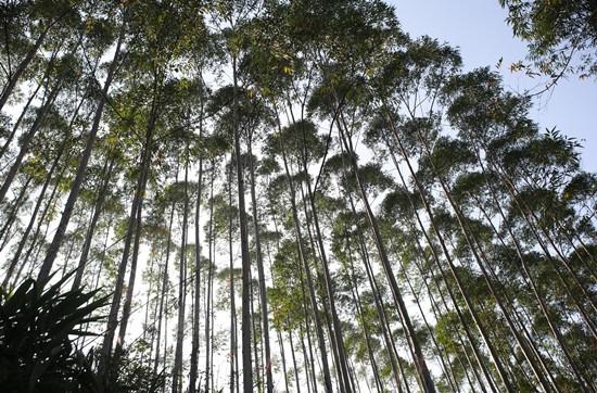 桉树是世界上生长最快